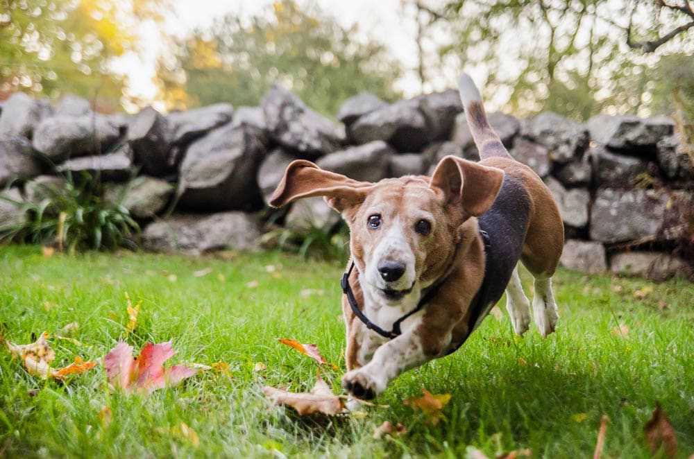 cute dog with large ears running in the grass