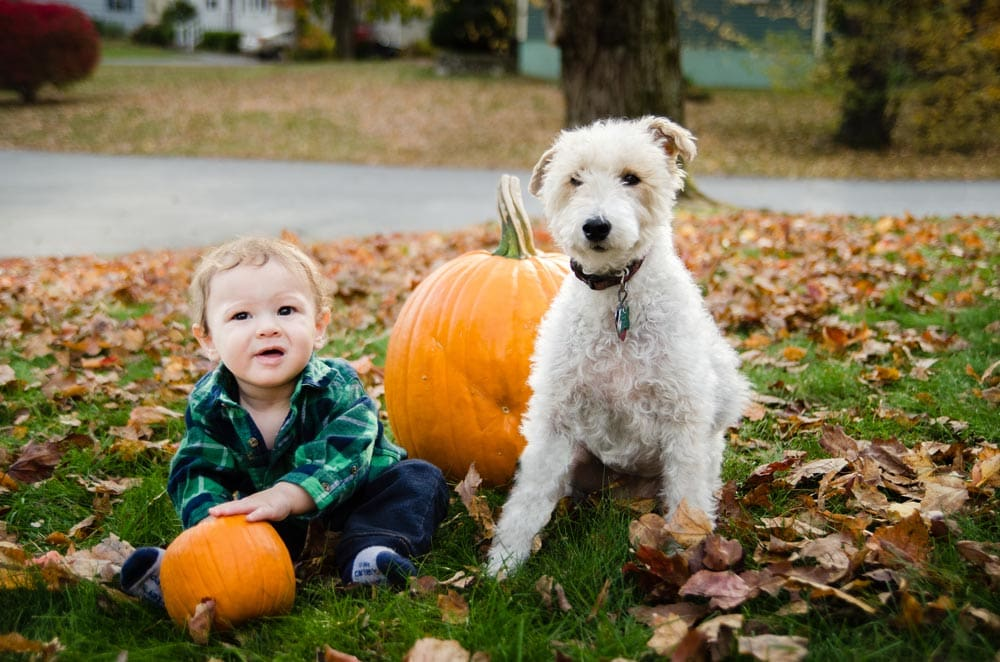 baby boy with white dog next to pumpkins