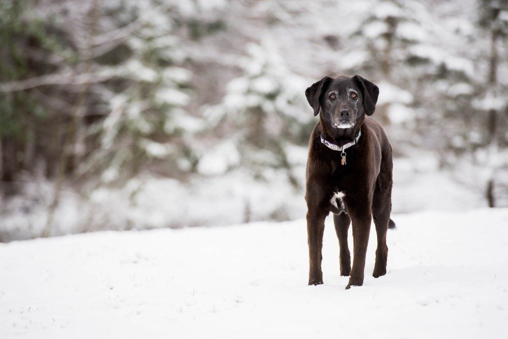 black lab on snow day