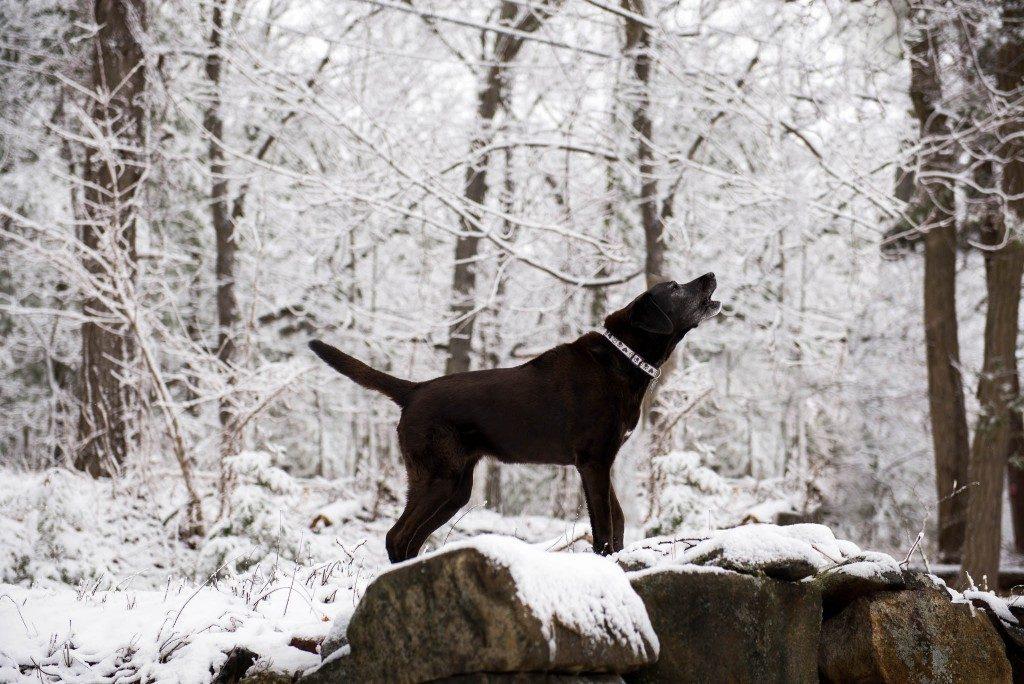 black lab barking on top of rocks on snow day