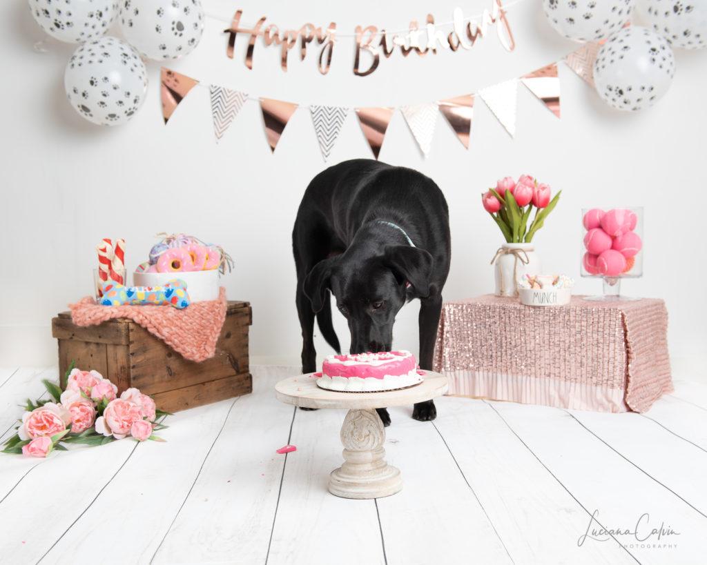 dog licking pink cake